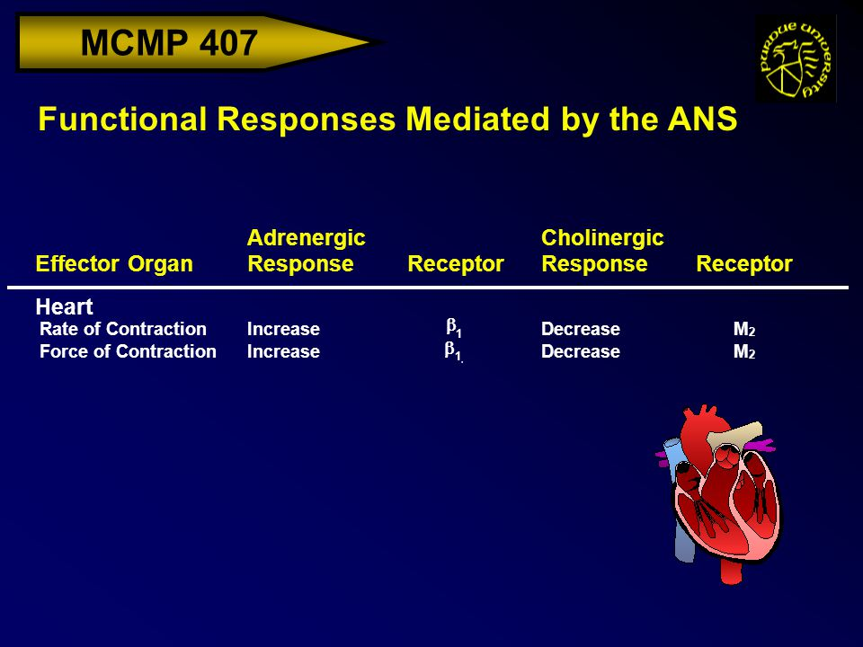 MCMP 407 Effector Organ Adrenergic ResponseReceptor Cholinergic ResponseReceptor Heart Rate of ContractionIncrease  1 DecreaseM 2 Force of ContractionIncrease  DecreaseM 2 Functional Responses Mediated by the ANS  1,1,