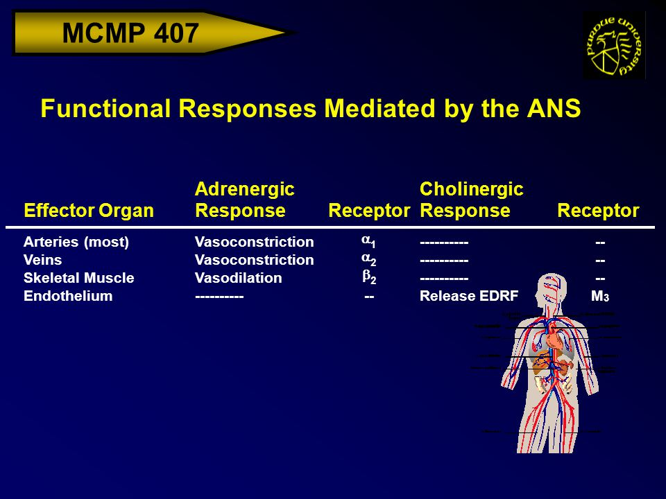 MCMP 407 Functional Responses Mediated by the ANS Effector Organ Adrenergic ResponseReceptor Cholinergic ResponseReceptor Arteries (most)Vasoconstrict