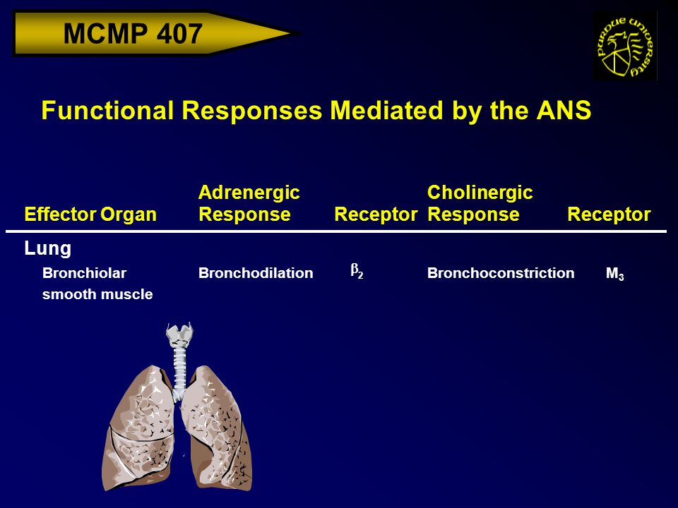 MCMP 407 Functional Responses Mediated by the ANS Effector Organ Adrenergic ResponseReceptor Cholinergic ResponseReceptor Lung Bronchiolar smooth muscle BronchodilationBronchoconstrictionM3M3  2