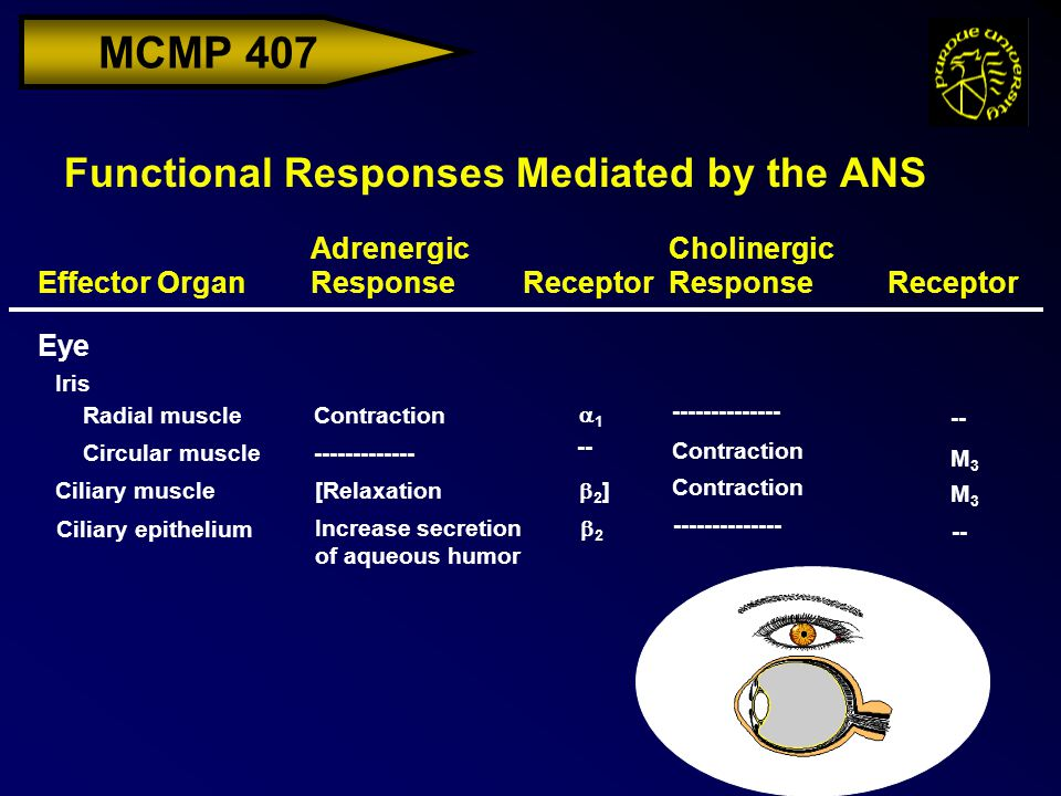 MCMP 407 Functional Responses Mediated by the ANS Effector Organ Adrenergic ResponseReceptor Cholinergic ResponseReceptor Iris Radial muscleContraction Eye -- -------------- 11 -------------Circular muscle M3M3 Contraction -- Ciliary muscle [Relaxation M3M3 Contraction 2]2] Ciliary epithelium Increase secretion of aqueous humor -- -------------- 22