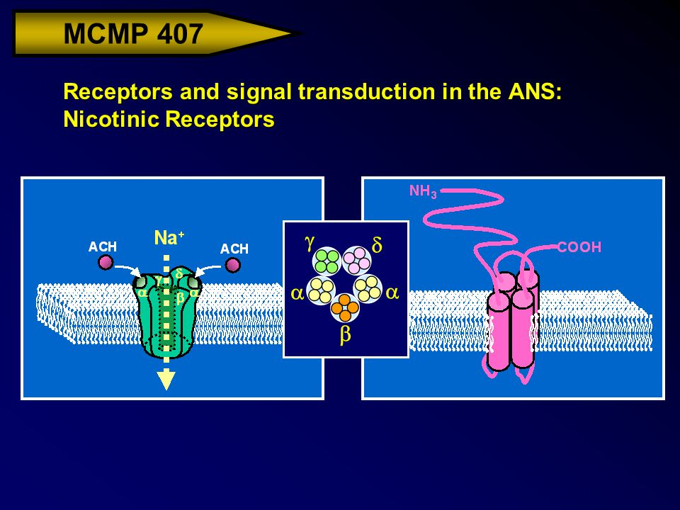 MCMP 407 Receptors and signal transduction in the ANS: Nicotinic Receptors     
