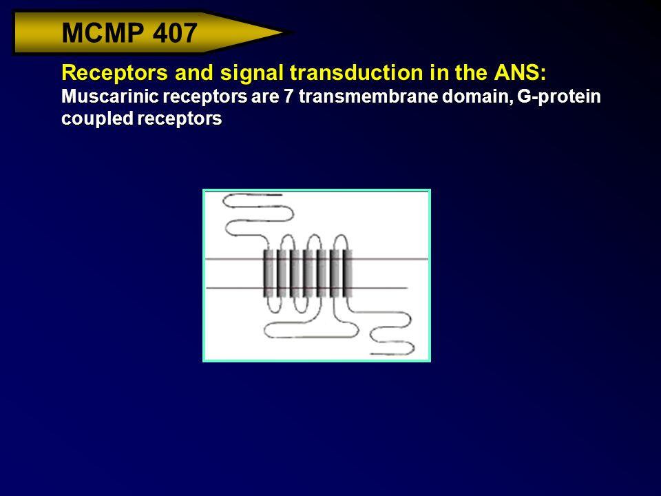 MCMP 407 Receptors and signal transduction in the ANS: Muscarinic receptors are 7 transmembrane domain, G-protein coupled receptors