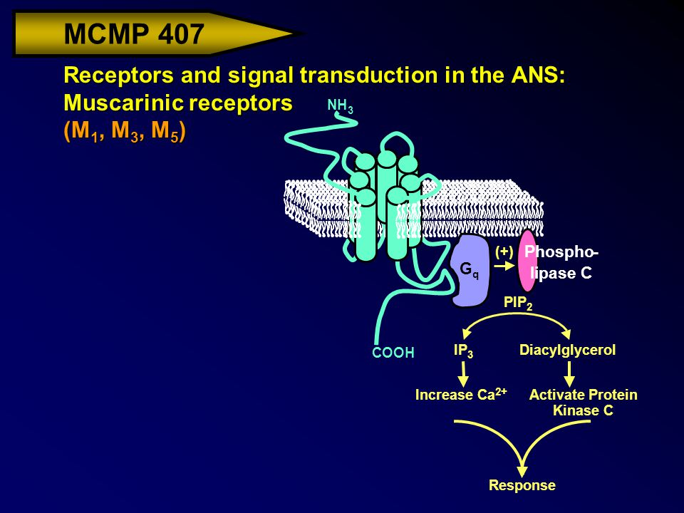 MCMP 407 Receptors and signal transduction in the ANS: Muscarinic receptors (M 1, M 3, M 5 ) NH 3 COOH G q Phospho- lipase C (+) PIP 2 IP 3 Diacylglycerol Increase Ca 2+ Activate Protein KinaseC Response