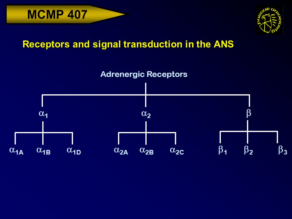 MCMP 407 Receptors and signal transduction in the ANS Adrenergic Receptors  1A 11 22  1B  1D  2A  2B  2C 11 22 33