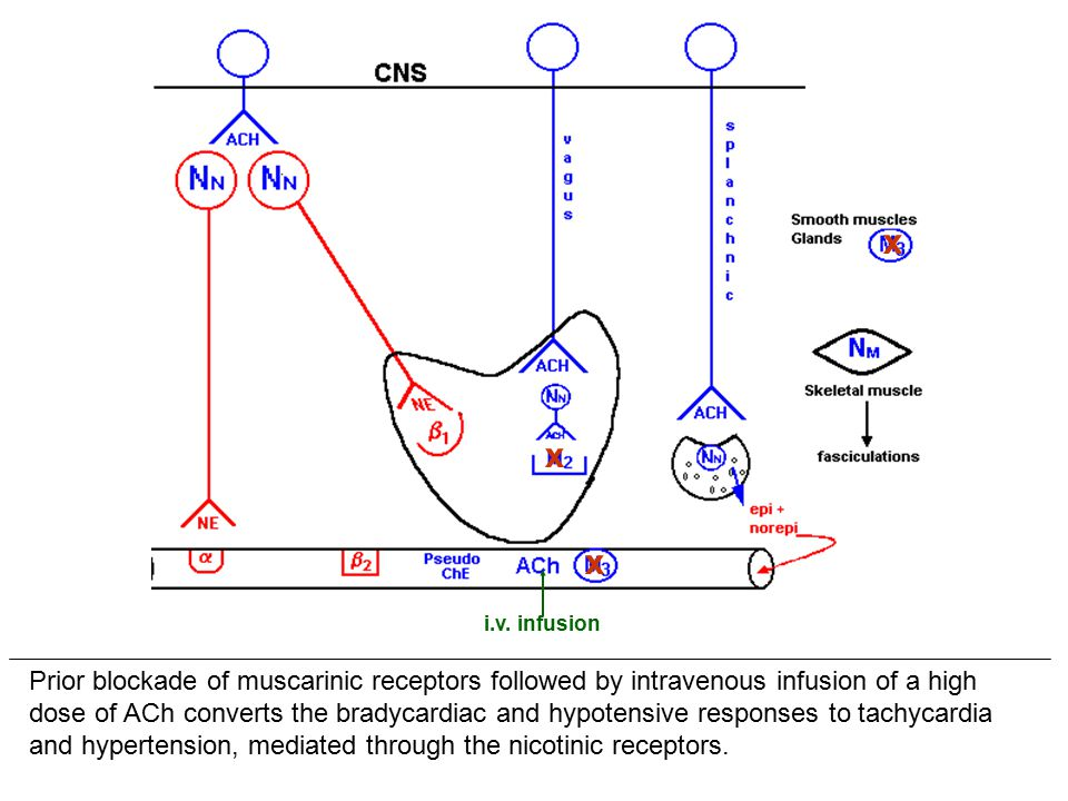 Prior blockade of muscarinic receptors followed by intravenous infusion of a high dose of ACh converts the bradycardiac and hypotensive responses to tachycardia and hypertension, mediated through the nicotinic receptors.