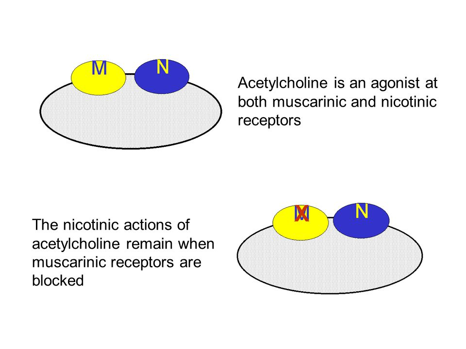 Acetylcholine is an agonist at both muscarinic and nicotinic receptors The nicotinic actions of acetylcholine remain when muscarinic receptors are blocked