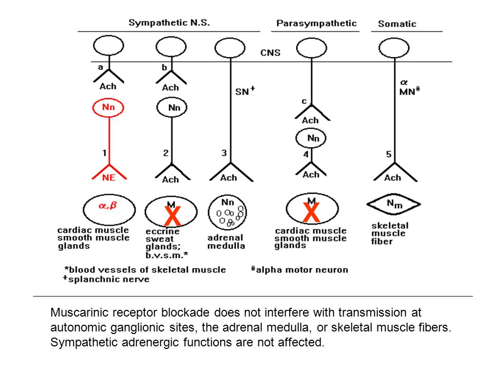 In Dual Innervated Organs, Muscarinic Receptor Blockade Allows Sympathetic Dominance X