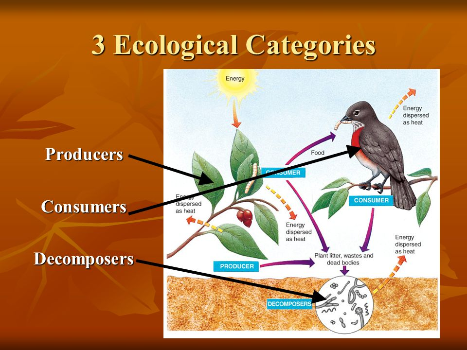3 Ecological Categories ProducersConsumersDecomposers