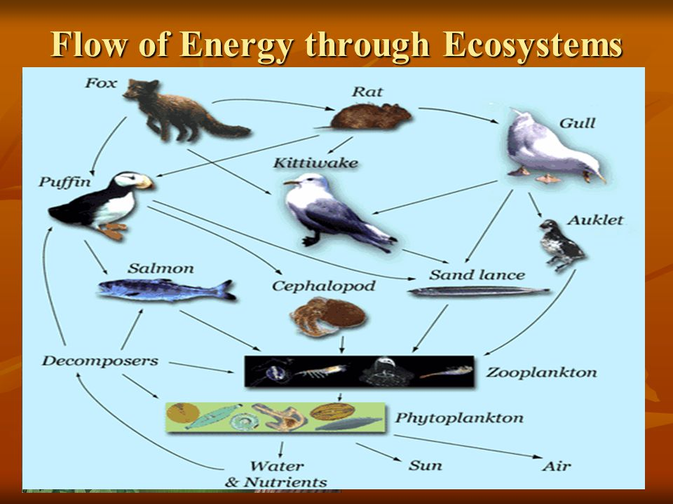 Flow of Energy through Ecosystems Simple foodchains are rare in nature! Why?? Simple foodchains are rare in nature! Why?? FOOD WEB = complex of interc