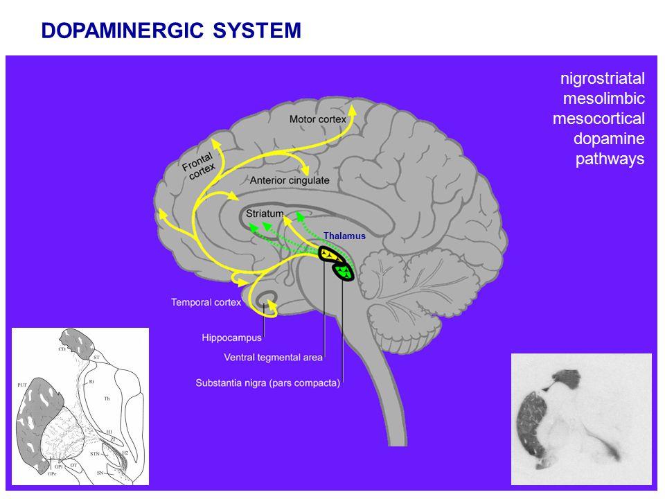 DOPAMINERGIC SYSTEM Thalamus nigrostriatal mesolimbic mesocortical dopamine pathways