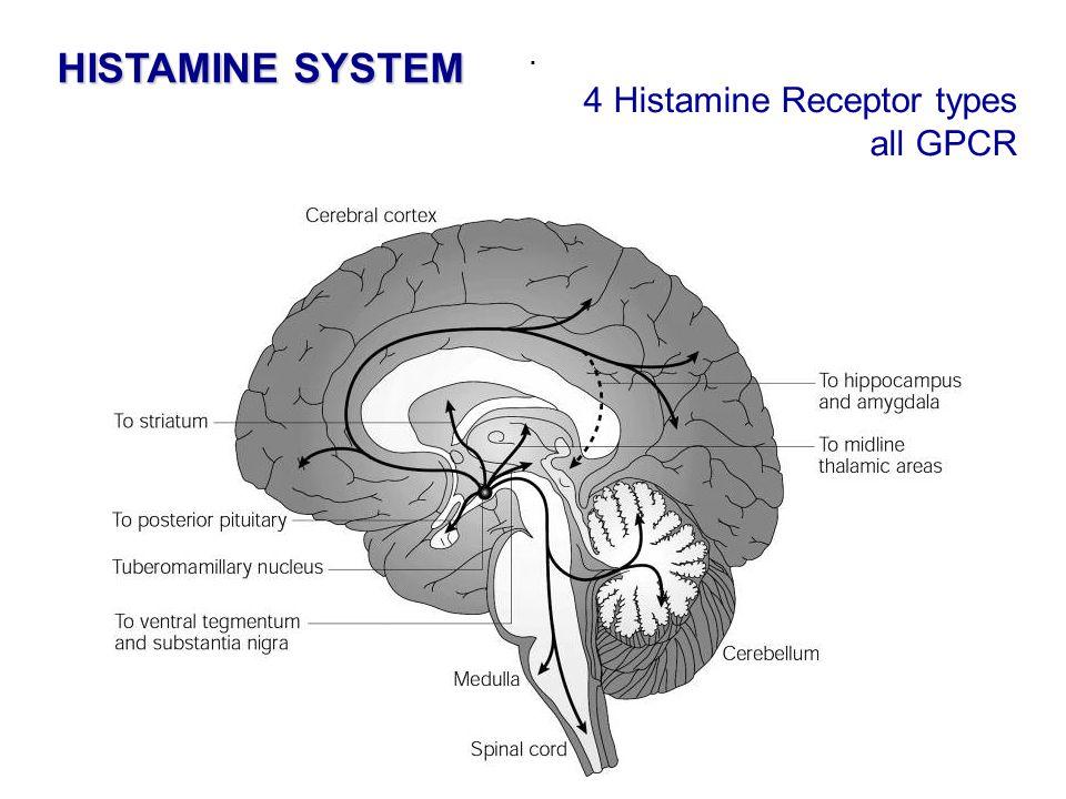 . HISTAMINE SYSTEM 4 Histamine Receptor types all GPCR