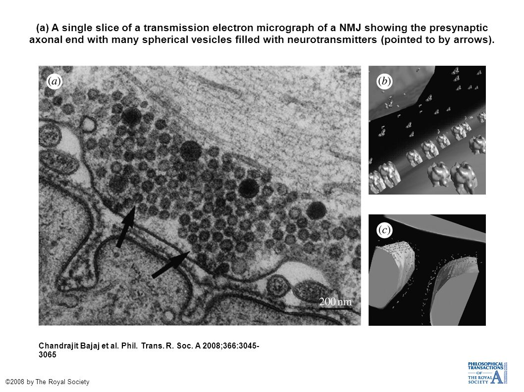 (a) A single slice of a transmission electron micrograph of a NMJ showing the presynaptic axonal end with many spherical vesicles filled with neurotra