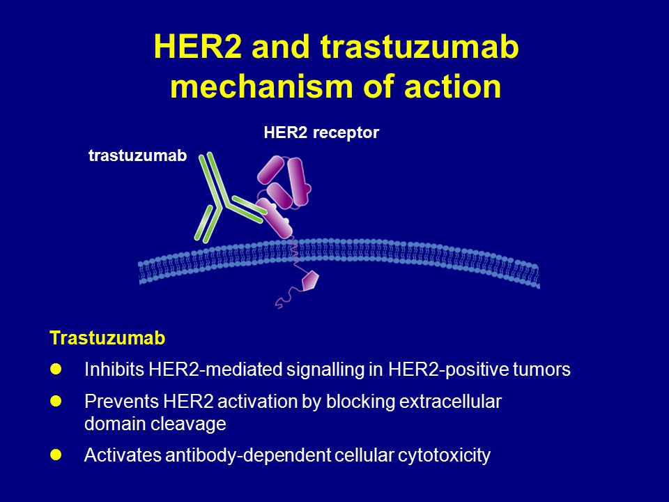 HER2 and trastuzumab mechanism of action HER2 receptor trastuzumab Trastuzumab Inhibits HER2-mediated signalling in HER2-positive tumors Prevents HER2