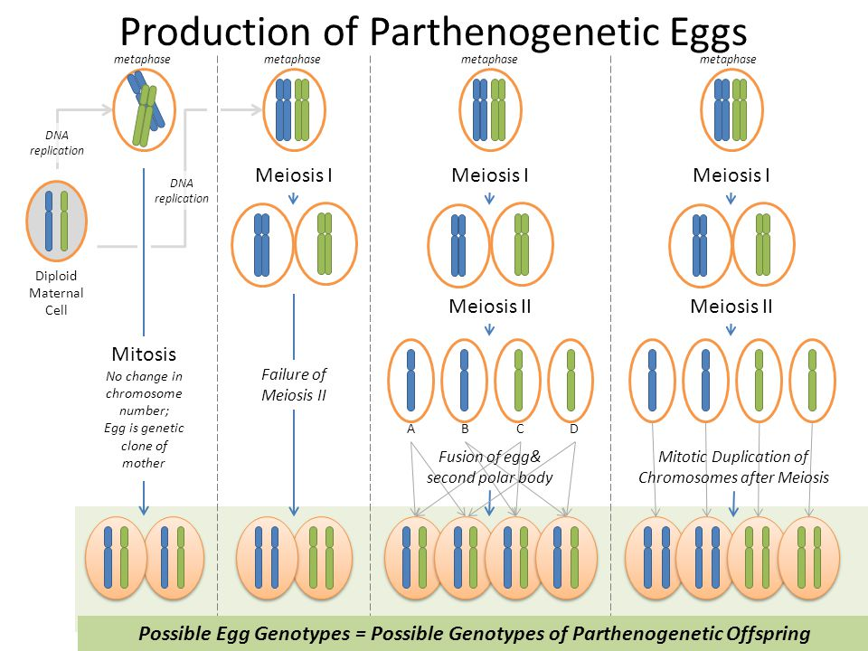Failure of Meiosis II Meiosis I Diploid Maternal Cell Mitosis No change in chromosome number; Egg is genetic clone of mother DNA replication Meiosis I
