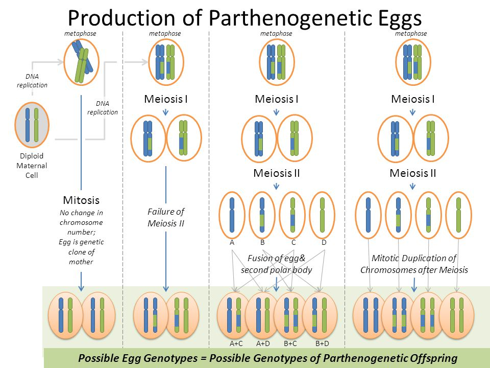 Failure of Meiosis II Meiosis I Diploid Maternal Cell Mitosis No change in chromosome number; Egg is genetic clone of mother DNA replication A+CA+DB+C