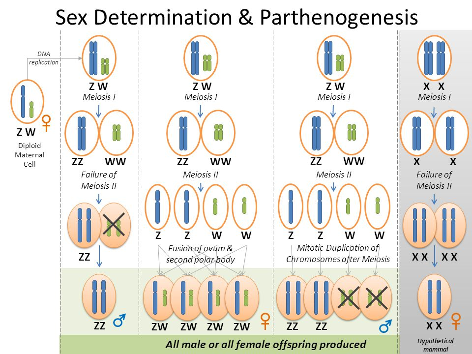 Sex Determination & Parthenogenesis Diploid Maternal Cell Z W DNA replication Failure of Meiosis II Meiosis I Z W ZZ WW ZZ All male or all female offs