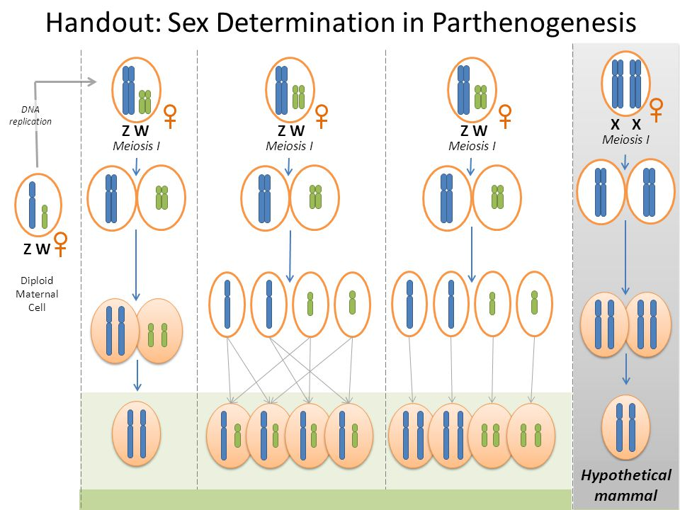 Diploid Maternal Cell Z W DNA replication Handout: Sex Determination in Parthenogenesis X Meiosis I Hypothetical mammal Meiosis I Z W Meiosis I Z W Me