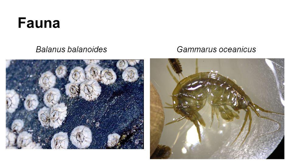 Fauna Balanus balanoides Gammarus oceanicus