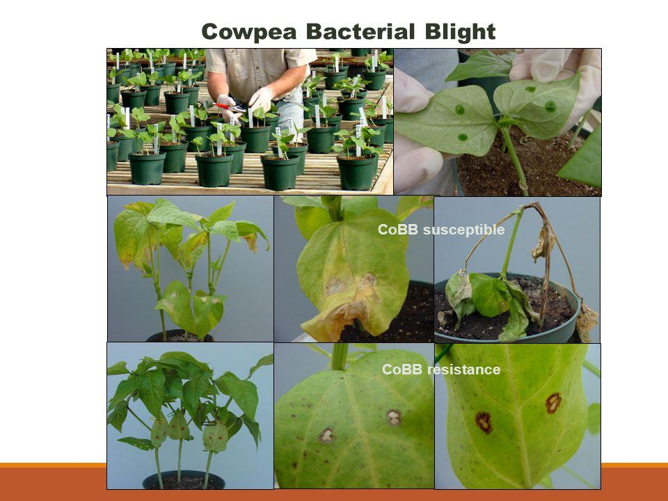 Cowpea Bacterial Blight CoBB susceptible CoBB resistance