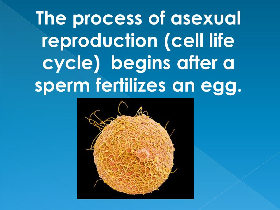 The process of asexual reproduction (cell life cycle) begins after a sperm fertilizes an egg.