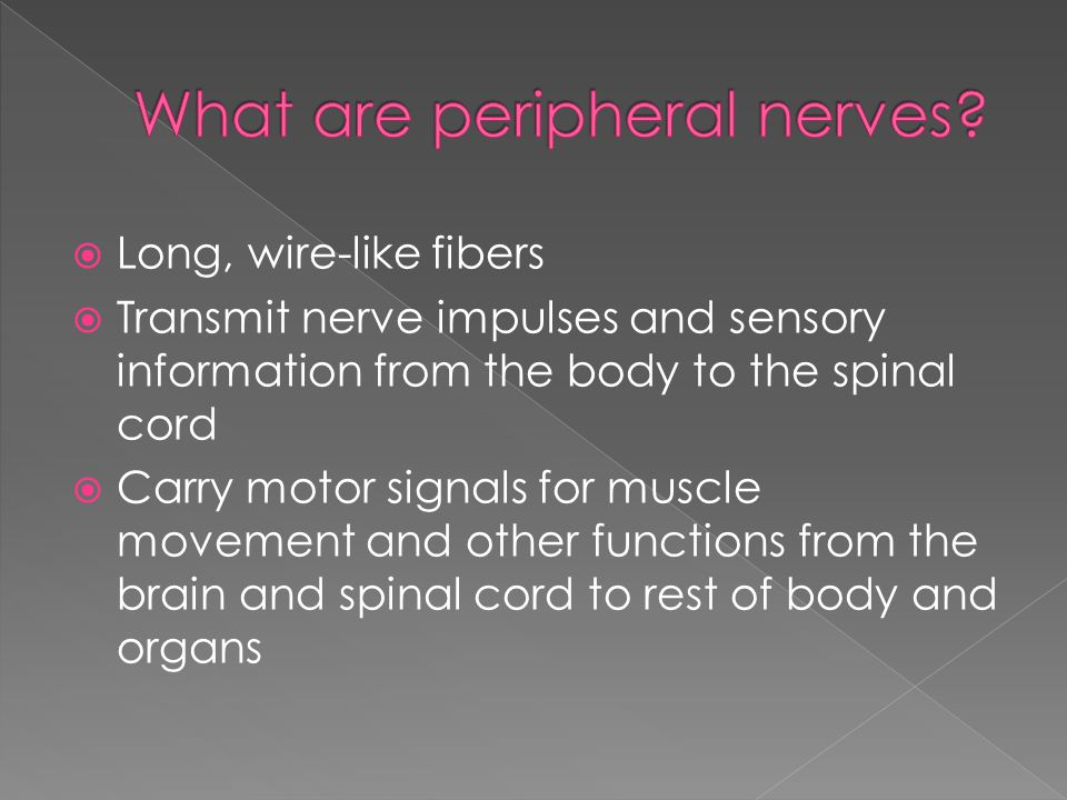  Long, wire-like fibers  Transmit nerve impulses and sensory information from the body to the spinal cord  Carry motor signals for muscle movement and other functions from the brain and spinal cord to rest of body and organs