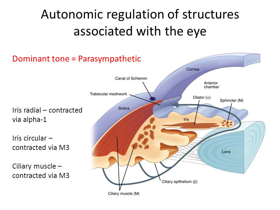 Autonomic regulation of structures associated with the eye Dominant tone = Parasympathetic Iris radial – contracted via alpha-1 Iris circular – contracted via M3 Ciliary muscle – contracted via M3