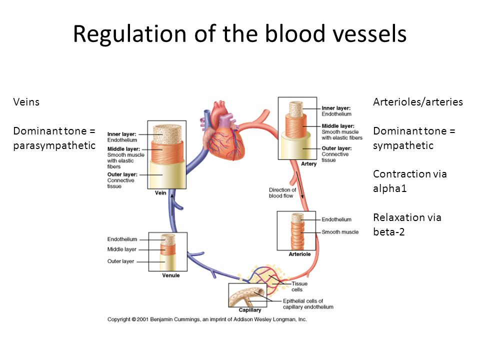 Regulation of the blood vessels Veins Dominant tone = parasympathetic Arterioles/arteries Dominant tone = sympathetic Contraction via alpha1 Relaxation via beta-2