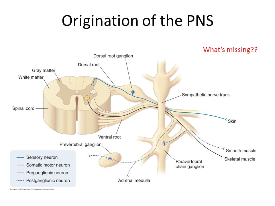 Origination of the PNS What's missing