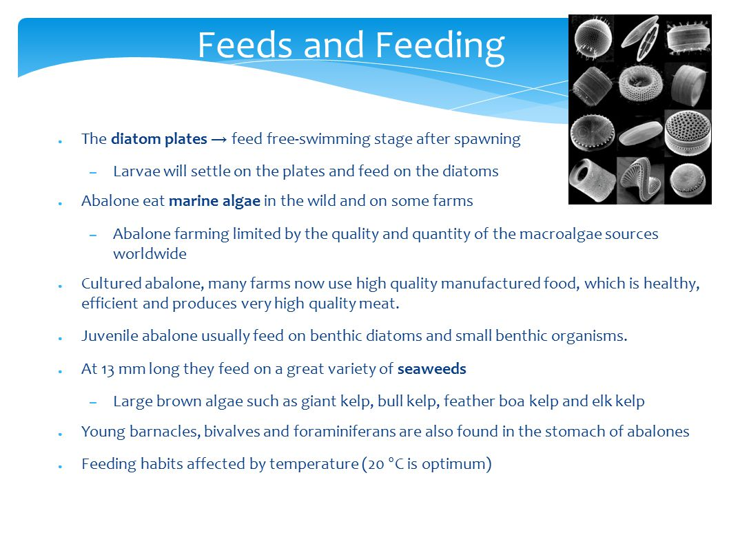 Feeds and Feeding ● The diatom plates → feed free-swimming stage after spawning – Larvae will settle on the plates and feed on the diatoms ● Abalone eat marine algae in the wild and on some farms – Abalone farming limited by the quality and quantity of the macroalgae sources worldwide ● Cultured abalone, many farms now use high quality manufactured food, which is healthy, efficient and produces very high quality meat.