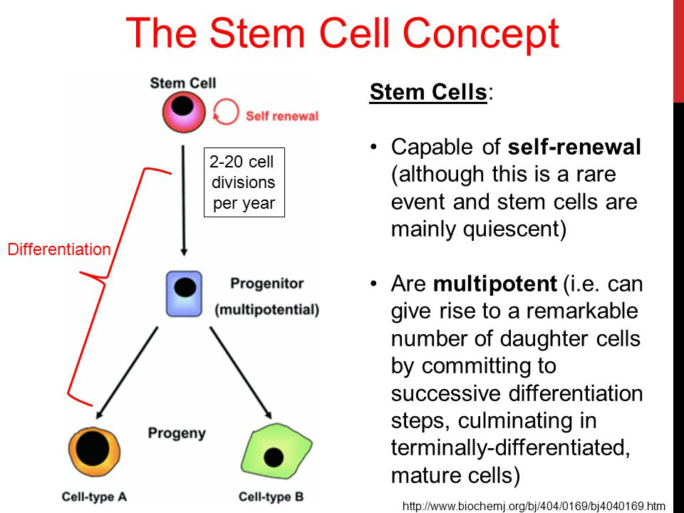 Hematopoietic Stem Cells Hematopoietic stem cells (HSC) are found in the bone marrow, cord blood, and in smaller numbers in the peripheral blood Long-lived cells that give rise to all blood cells Comprise approx.
