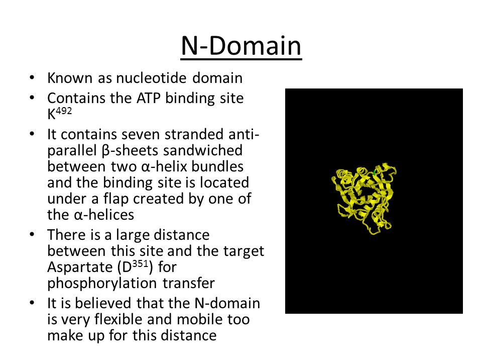 N-Domain Known as nucleotide domain Contains the ATP binding site K 492 It contains seven stranded anti- parallel β-sheets sandwiched between two α-helix bundles and the binding site is located under a flap created by one of the α-helices There is a large distance between this site and the target Aspartate (D 351 ) for phosphorylation transfer It is believed that the N-domain is very flexible and mobile too make up for this distance