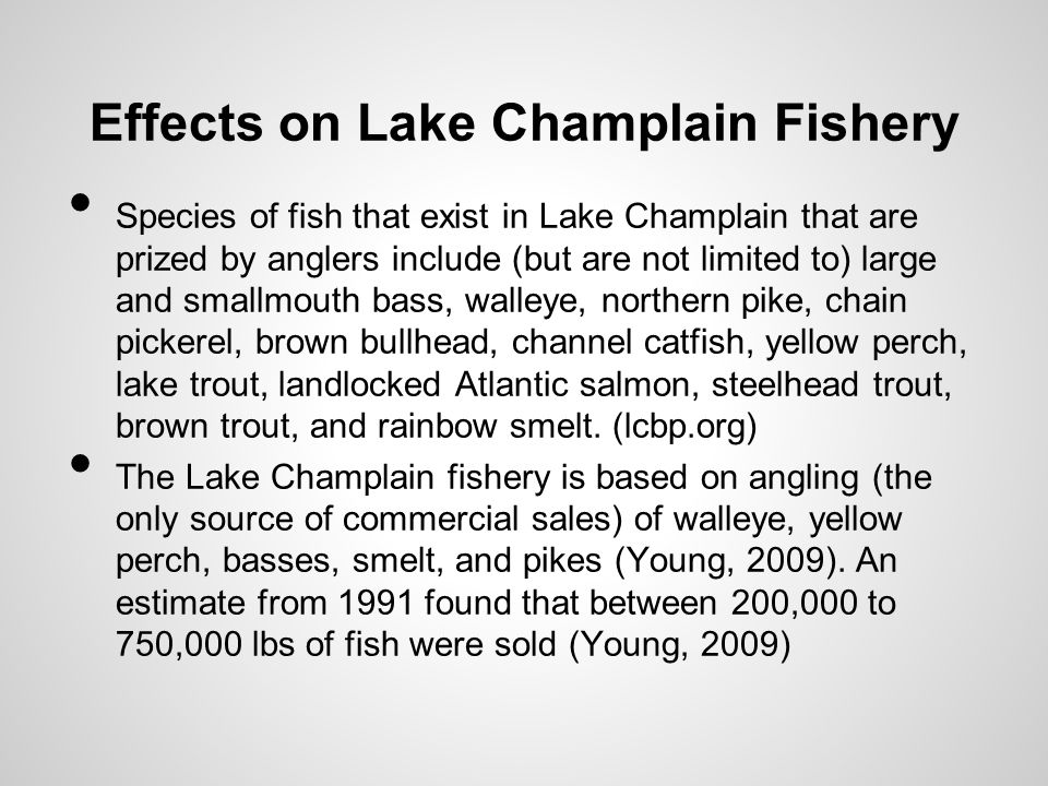 Effects on Lake Champlain Fishery Species of fish that exist in Lake Champlain that are prized by anglers include (but are not limited to) large and smallmouth bass, walleye, northern pike, chain pickerel, brown bullhead, channel catfish, yellow perch, lake trout, landlocked Atlantic salmon, steelhead trout, brown trout, and rainbow smelt.