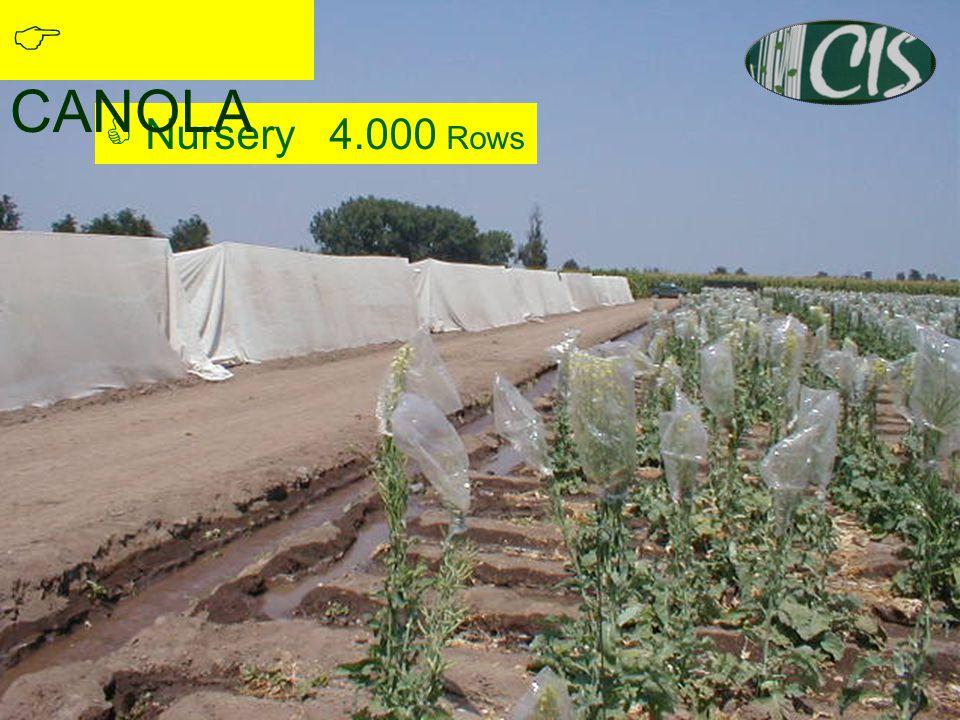 5  Nursery 4.000 Rows  CANOLA