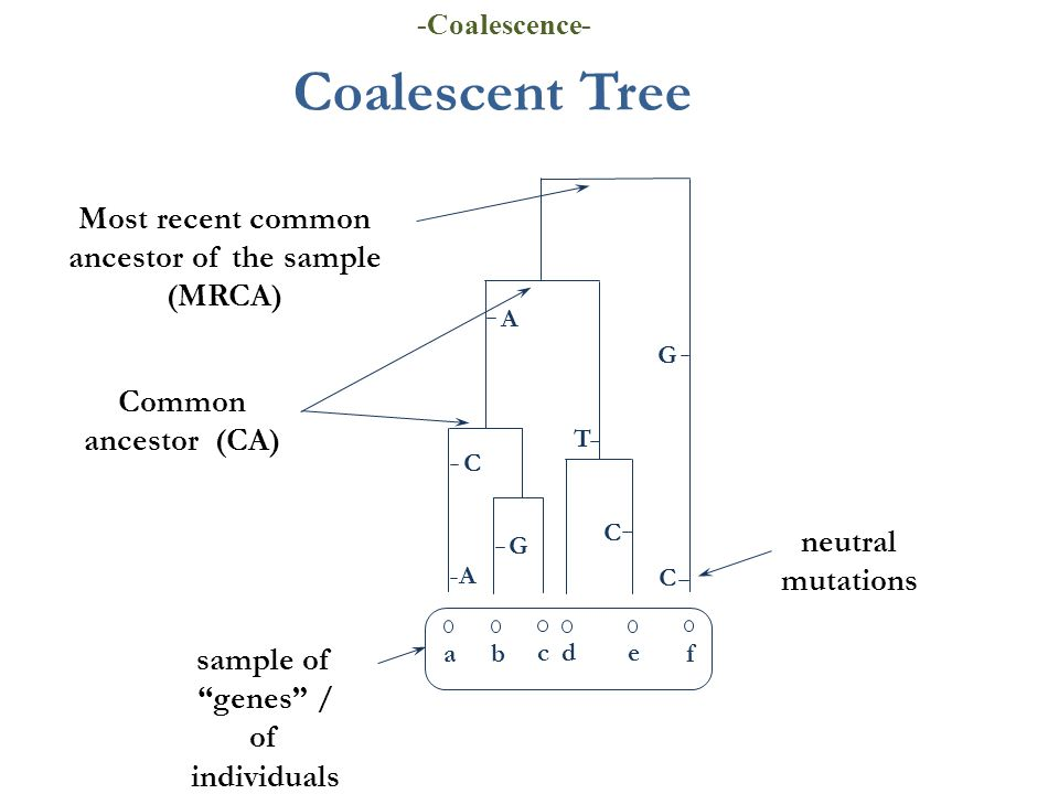 Coalescent Tree ab cde f Most recent common ancestor of the sample (MRCA) sample of genes / of individuals Common ancestor (CA) neutral mutations T C C G C G A A -Coalescence-