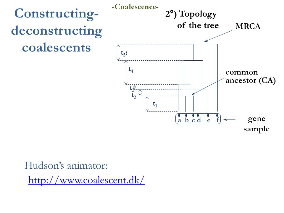 gene sample Topology of the tree 2°) abcdef MRCA common ancestor (CA) t1t1 t2t2 t3t3 t4t4 t5:t5: Constructing- deconstructing coalescents -Coalescence- http://www.coalescent.dk/ Hudson's animator: