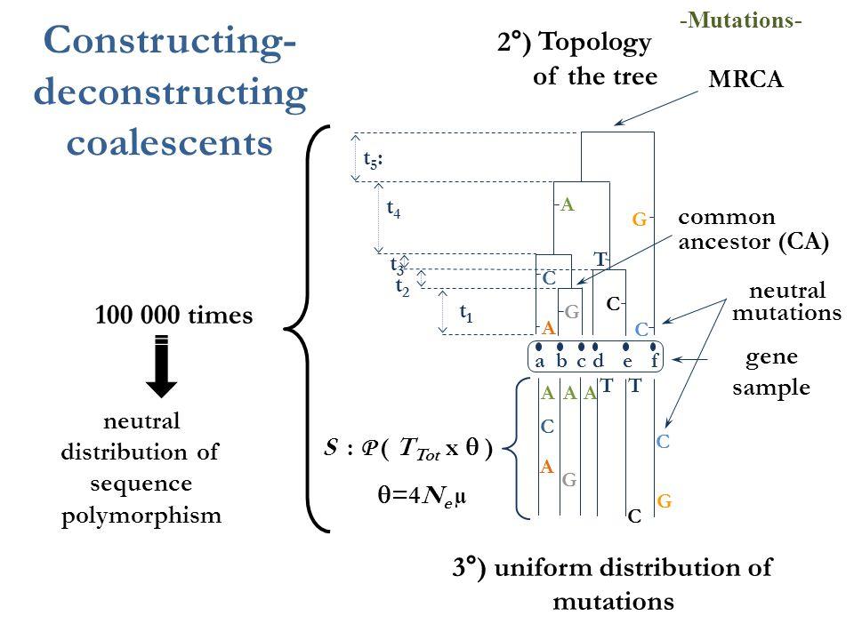 AA A A neutral mutations G T C C G C A 3°) uniform distribution of mutations gene sample Topology of the tree 2°) T C G A C G C T neutral distribution