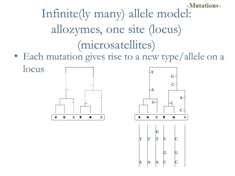 Infinite(ly many) allele model: allozymes, one site (locus) (microsatellites) Each mutation gives rise to a new type/allele on a locus T A C C G C G T