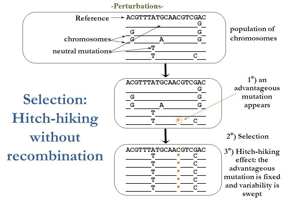 ______T_____*___C__ _G______A________G_ ACGTTTATGCAACGTCGAC 1°) an advantageous mutation appears 2°) Selection _G_______________G_ _________________G_