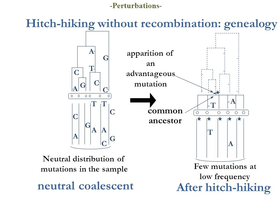 A Hitch-hiking without recombination: genealogy apparition of an advantageous mutation Few mutations at low frequency common ancestor T ****** T * A After hitch-hiking Neutral distribution of mutations in the sample T A C C G C G C C G AA C T T G A A neutral coalescent -Perturbations-