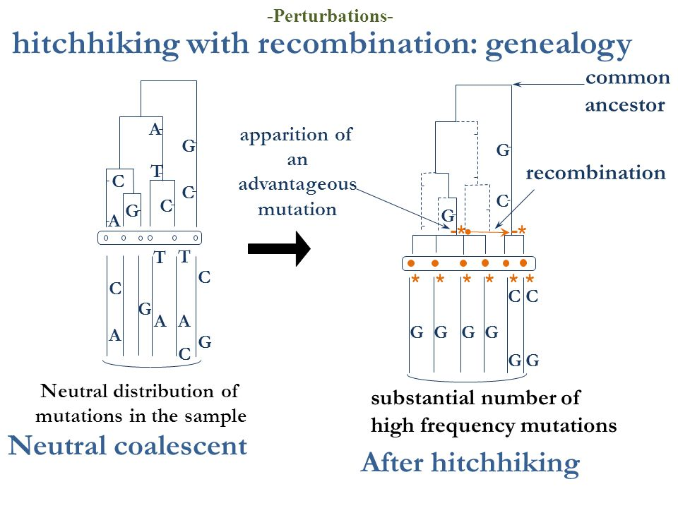 hitchhiking with recombination: genealogy apparition of an advantageous mutation substantial number of high frequency mutations common ancestor ****** * After hitchhiking T A C C G C G C C G AA C T T G A A Neutral coalescent C G C G C G * recombination GGGG G Neutral distribution of mutations in the sample -Perturbations-