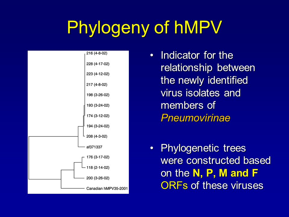 Phylogeny of hMPV Indicator for the relationship between the newly identified virus isolates and members of PneumovirinaeIndicator for the relationshi
