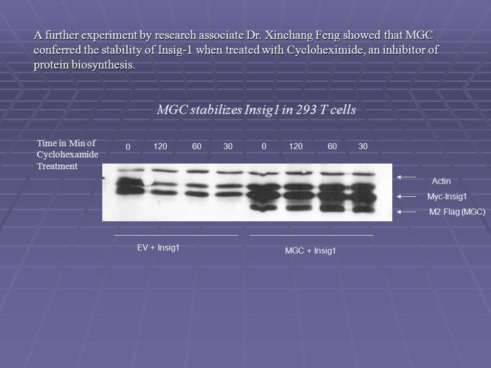 EV + Insig1 MGC + Insig1 Time in Min of Cyclohexamide Treatment 0 030 60 120 M2 Flag (MGC) Myc-Insig1 Actin MGC stabilizes Insig1 in 293 T cells A further experiment by research associate Dr.