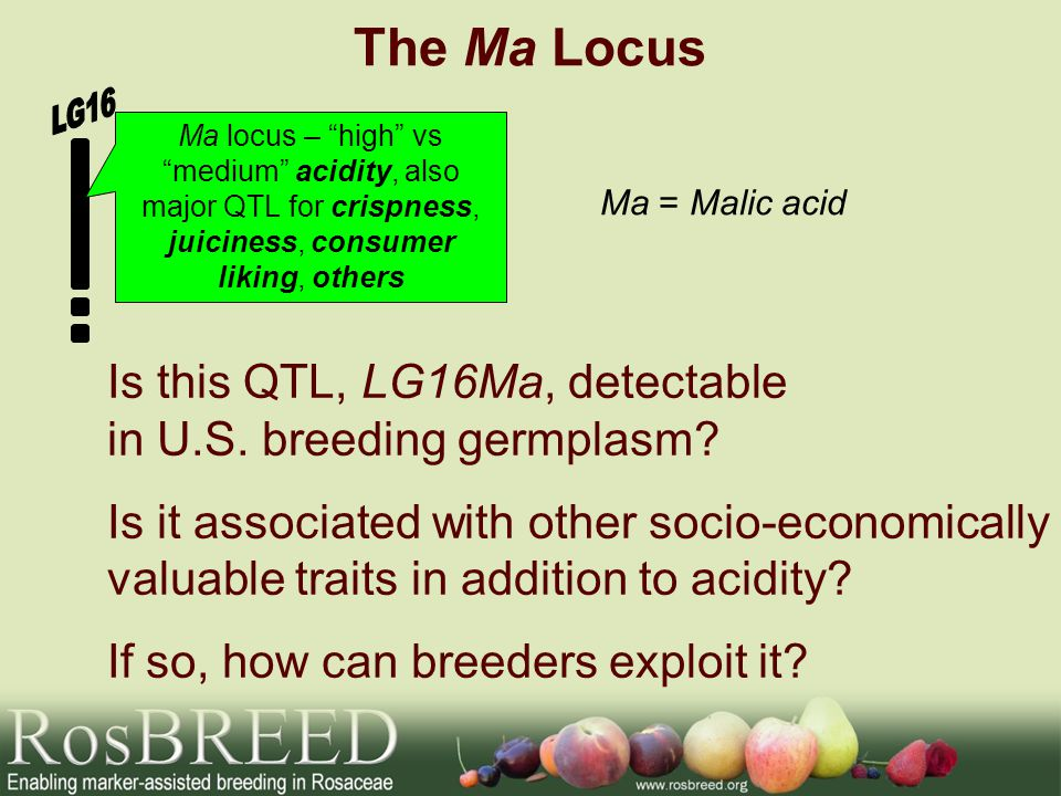 The Ma Locus Ma = Malic acid Ma locus – high vs medium acidity, also major QTL for crispness, juiciness, consumer liking, others Is this QTL, LG16Ma, detectable in U.S.