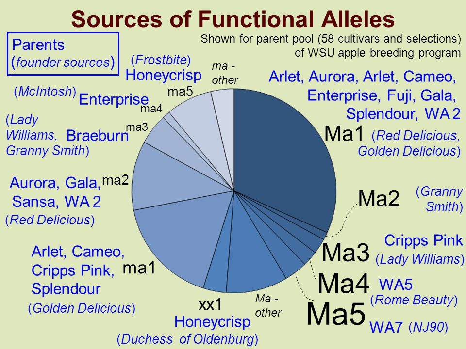 Sources of Functional Alleles Shown for parent pool (58 cultivars and selections) of WSU apple breeding program Ma1 Ma2 Ma3 Ma4 Ma5 xx1 ma1 ma2 ma3 ma4 ma5 Ma - other ma - other Parents ( founder sources ) (Red Delicious, Golden Delicious) Arlet, Aurora, Arlet, Cameo, Enterprise, Fuji, Gala, Splendour, WA 2 (Granny Smith) (Lady Williams) Cripps Pink (Rome Beauty) WA5 (NJ90) WA7 (Duchess of Oldenburg) Honeycrisp Arlet, Cameo, Cripps Pink, Splendour (Golden Delicious) Honeycrisp (Frostbite) Enterprise (McIntosh) Braeburn (Lady Williams, Granny Smith) Aurora, Gala, Sansa, WA 2 (Red Delicious)