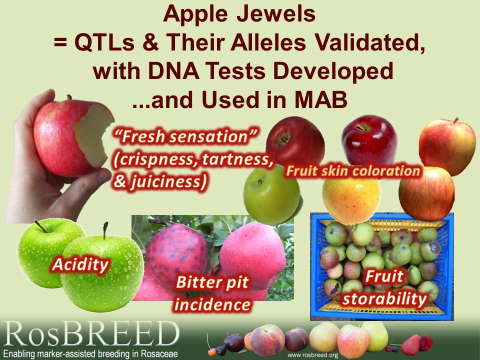 Apple Jewels = QTLs & Their Alleles Validated, with DNA Tests Developed...and Used in MAB