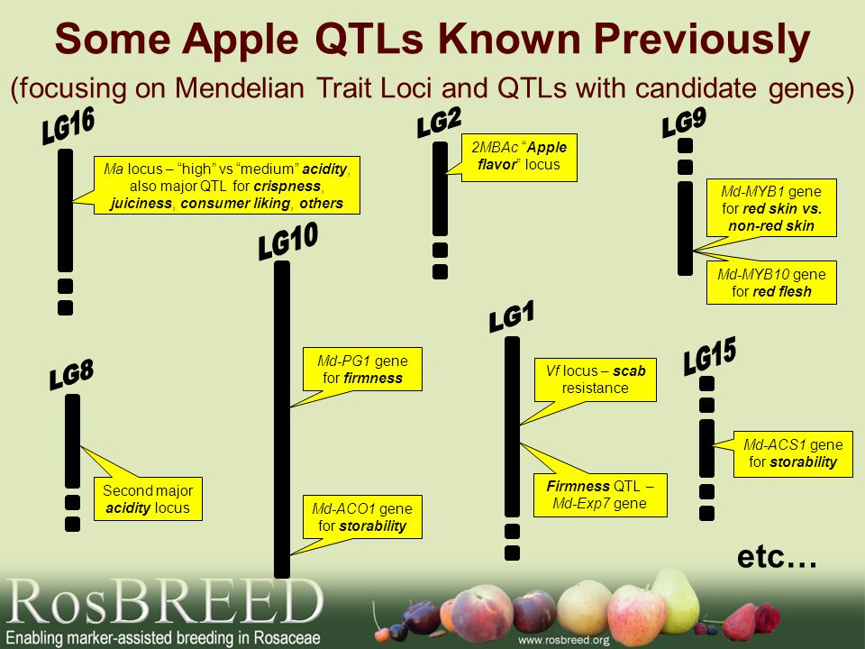 Some Apple QTLs Known Previously (focusing on Mendelian Trait Loci and QTLs with candidate genes) Vf locus – scab resistance Firmness QTL – Md-Exp7 gene Md-PG1 gene for firmness Second major acidity locus 2MBAc Apple flavor locus Ma locus – high vs medium acidity, also major QTL for crispness, juiciness, consumer liking, others Md-MYB1 gene for red skin vs.