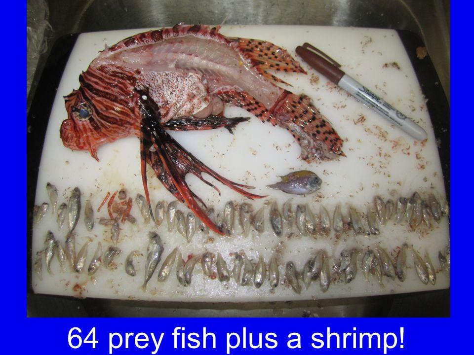 64 prey fish plus a shrimp!