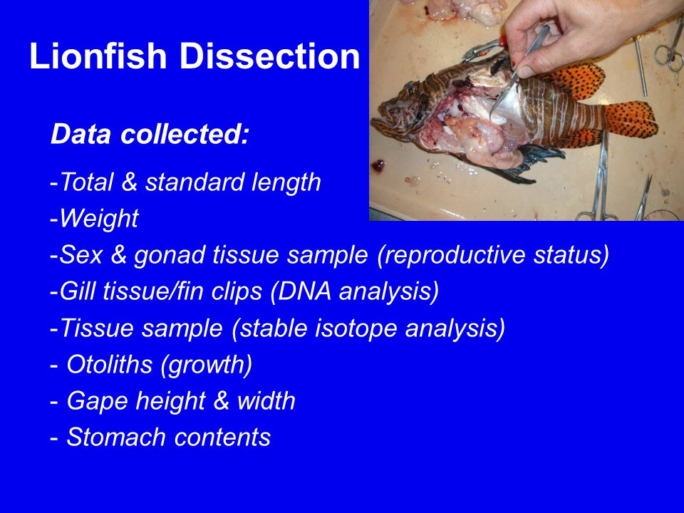 Lionfish Dissection Data collected: -Total & standard length -Weight -Sex & gonad tissue sample (reproductive status) -Gill tissue/fin clips (DNA analysis) -Tissue sample (stable isotope analysis) - Otoliths (growth) - Gape height & width - Stomach contents
