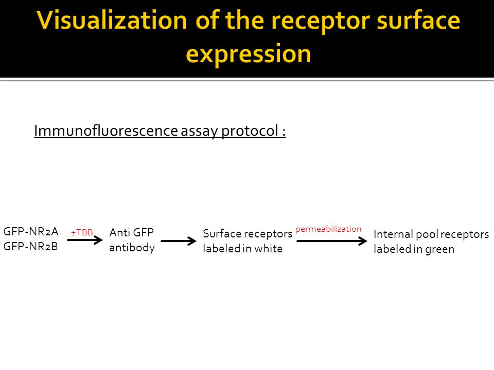 Immunofluorescence assay protocol : GFP-NR2A GFP-NR2B ±TBB Anti GFP antibody Surface receptors labeled in white permeabilization Internal pool recepto