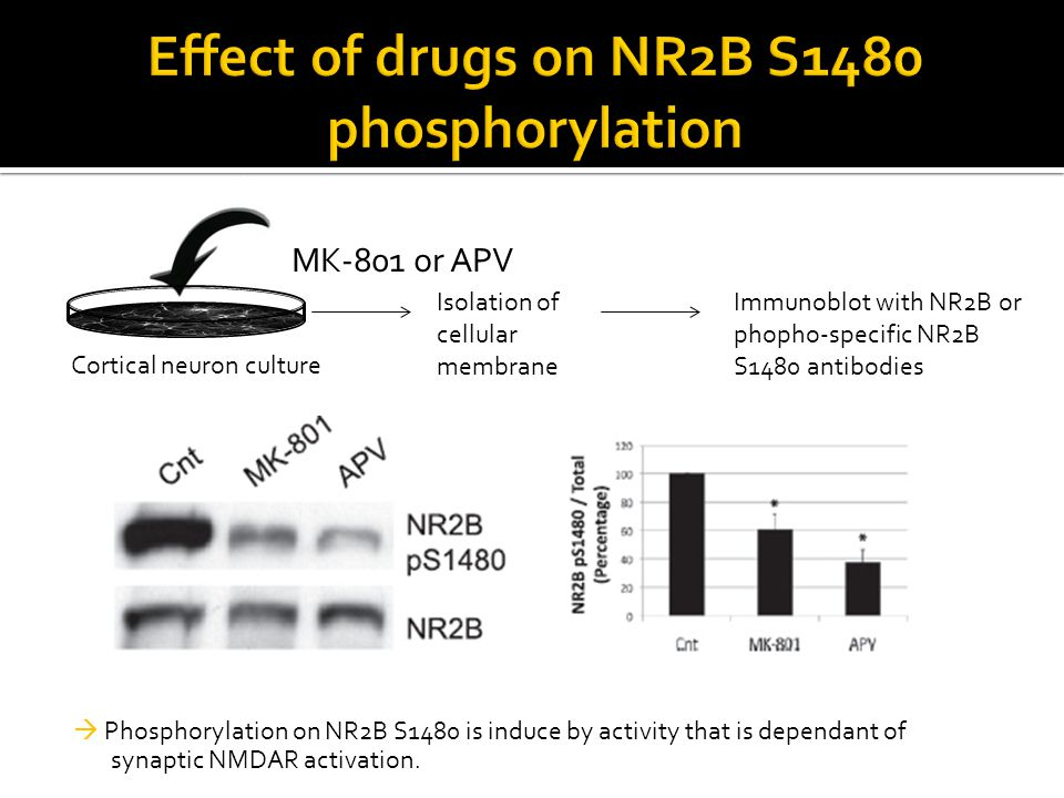  Phosphorylation on NR2B S1480 is induce by activity that is dependant of synaptic NMDAR activation. Cortical neuron culture MK-801 or APV Isolation